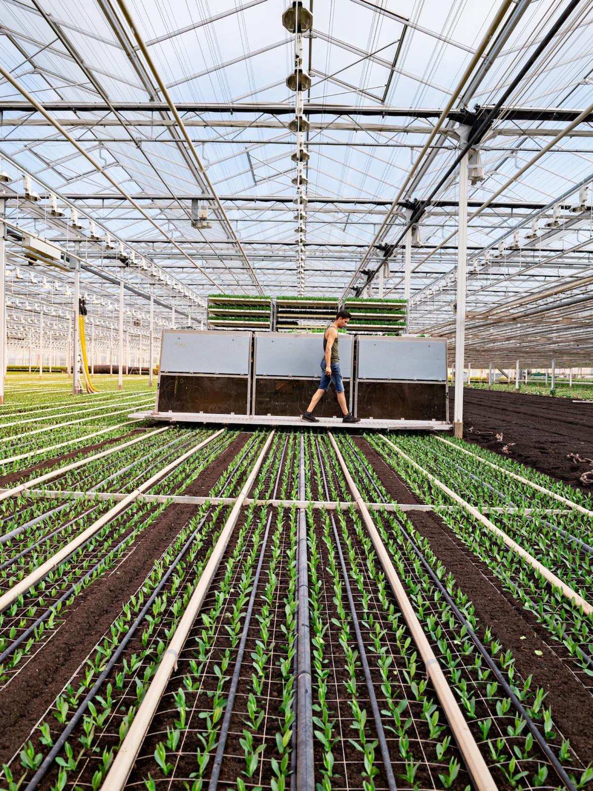 Tại vườn ươm Waalzicht ở Poederoijen, Netherlands, 3 con robot này do tập đoàn ISO chế tạo mỗi giờ trồng được 18.000 gốc hoa vừa đâm chồi, được giám sát chỉ với một công nhân con người.
