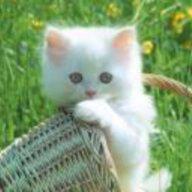 mèo nhóc